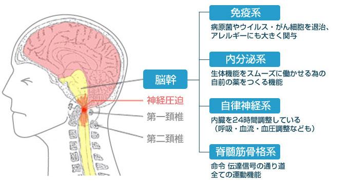 脳幹の働き