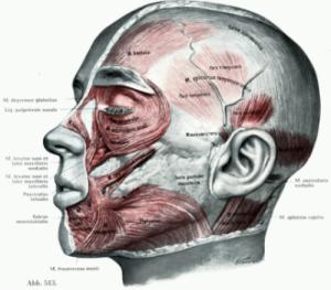 顔面の筋肉