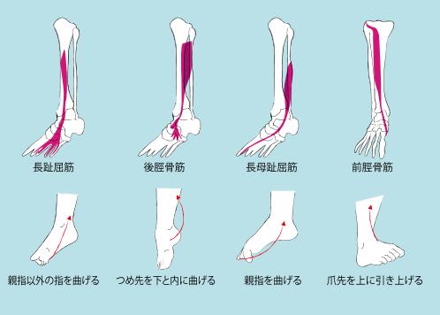 脛の筋肉の繋がり