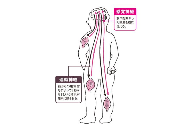 脳と神経の繋がり