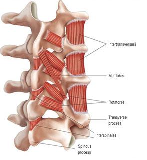 背骨 筋肉